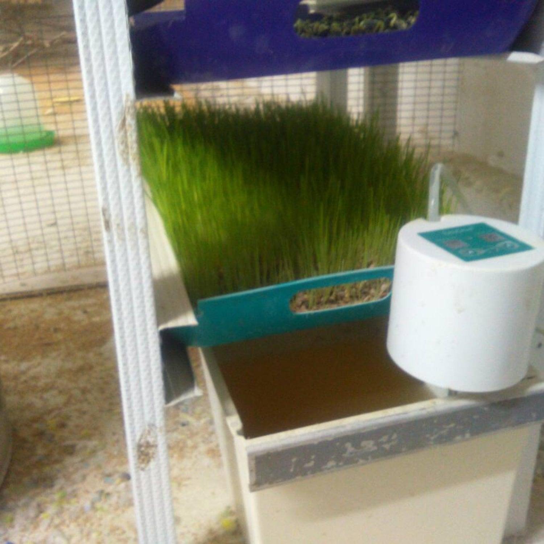Проращивание пшеницы с таймером полива